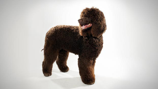 Irish Water Spaniel animalplanet.com